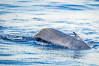 blue whale, Balaenoptera musculus, adult, surfacing in deep water off Funchal, Madeira, Portugal, Atlantic Ocean