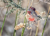 Male Pyrrhuloxia eating flowering plant outside Bosque del Apache Wild Life Refuge Visitor Center