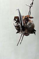 Pipistrello conservato come rimedio contro il malocchio..Bat preserved as a remedy against the evil eye.....