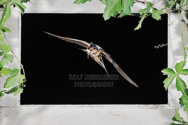 Barn Swallow (Hirundo rustica), adult flying through window, Dinero, Lake Corpus Christi, South Texas, USA