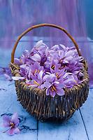 Europe/France/Midi-Pyrénées/46/Lot/Saint-Cirq-Lapopie: Fleurs de  Safran chez Madame Bessac productrice de  Safran du Quercy //  France, Lot, Vallee du Lot, Saint Cirq Lapopie, at Mrs Bessac's who is a Quercy saffron producer, Crocus sativus flowers from which saffron is extracted