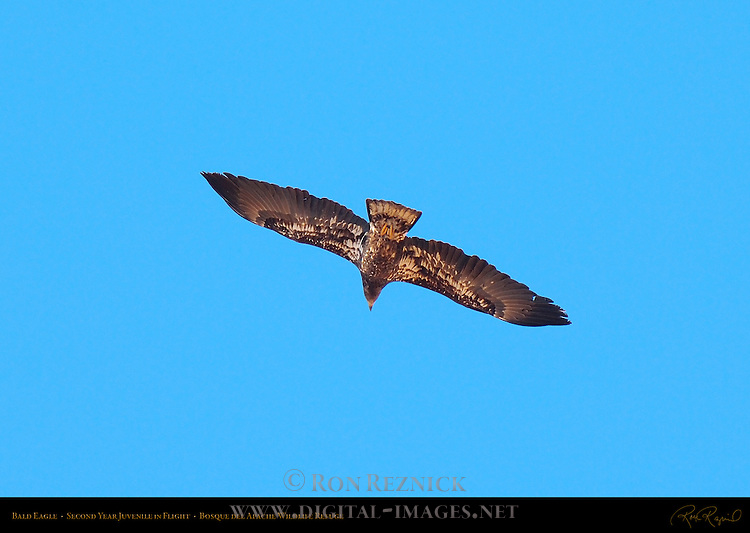 Bald Eagle 2nd Year Juvenile in Flight, Bosque del Apache Wildlife Refuge, New Mexico