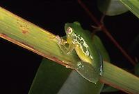 Espécimes de anfíbios encontradas <br /> Rio Purus.<br /> Primeira expedição científica para criação da RDS Piagaçu Purus subindo o rio até a Boca do Abufari.<br /> Amazonas, Brasil.<br /> Foto Paulo Santos<br /> 06/2001