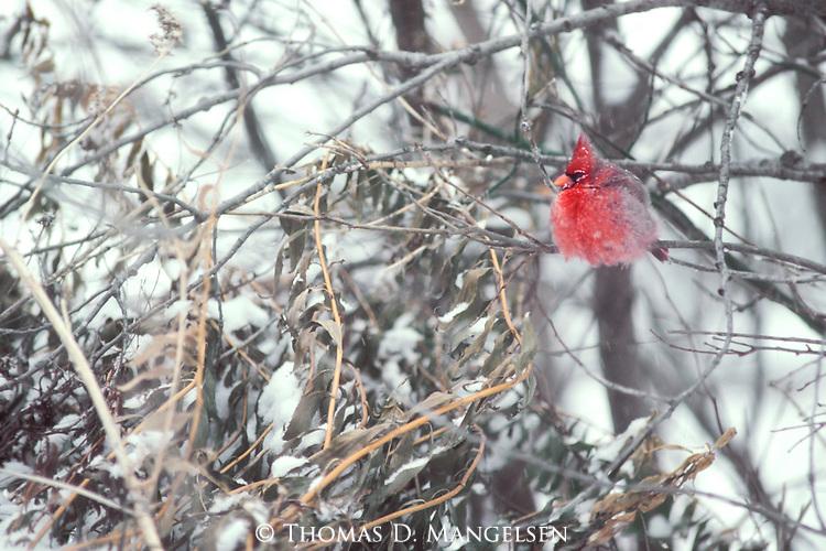 A snowy cardinal perches in a tree on a winter day in Nebraska.