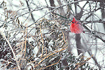 A snowy cardinal perches in a tree on a winter day in Nebraska.