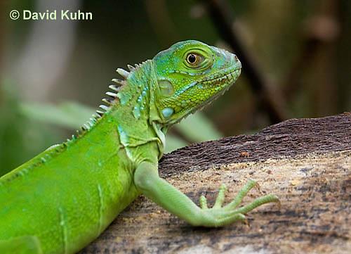 0625-1110  Young Green Iguana (Common Iguana), Belize, Iguana iguana  © David Kuhn/Dwight Kuhn Photography