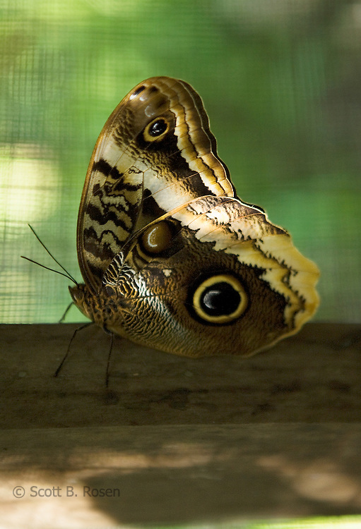 Close-up of a Giant Owl Buttefly at a butterfly breeding farm on Isla Bastimentos, Bocas del Toro, Panama