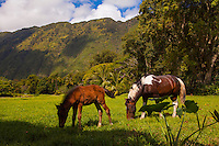 Two wild horses graze on grass with morning sunlight on taro and lush trees in Waipio Valley, Big Island, Hawaii.