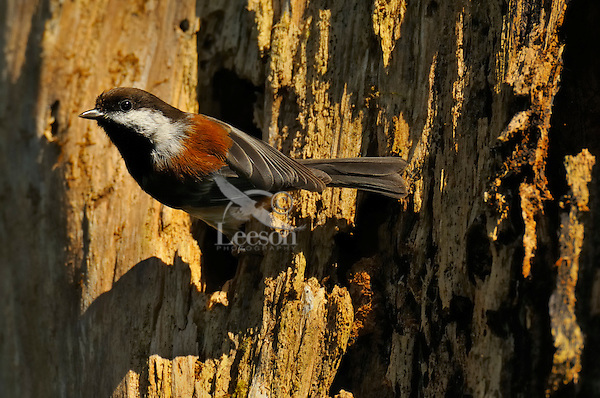 Chestnut-backed Chickadee (Poecile rufescens) at nest cavity in old snag in old growth forest in Olympic National Park rain forest, WA.  June.