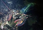 5 pound Northern Lobster walking through seaweed