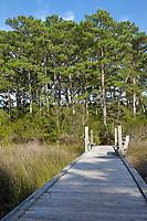Nags Head Woods, a Nature Conservancy Preserve.  Nags Head, North Carolina.  Roanoke Trail, Loblolly Pine Trees.