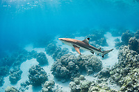 blacktip reef shark, Carcharhinus melanopterus, swimming over shallow coral reef, Toau, Tuamotus, French Polynesia, South Pacific Ocean