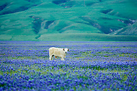 Cows in pasture of blooming lupine. Near Grapevine, California