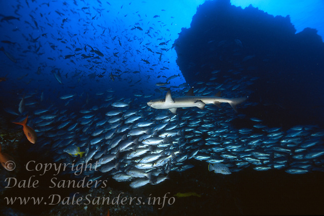 White Tip Reef Shark ( Triaenodon obesus ) swims past huge scools of fish underwater off Cocos Island, Costa Rica.