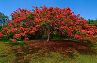 Flamboyant Tree<br /> Caneel Bay Resort<br /> St John, US Virgin Islands