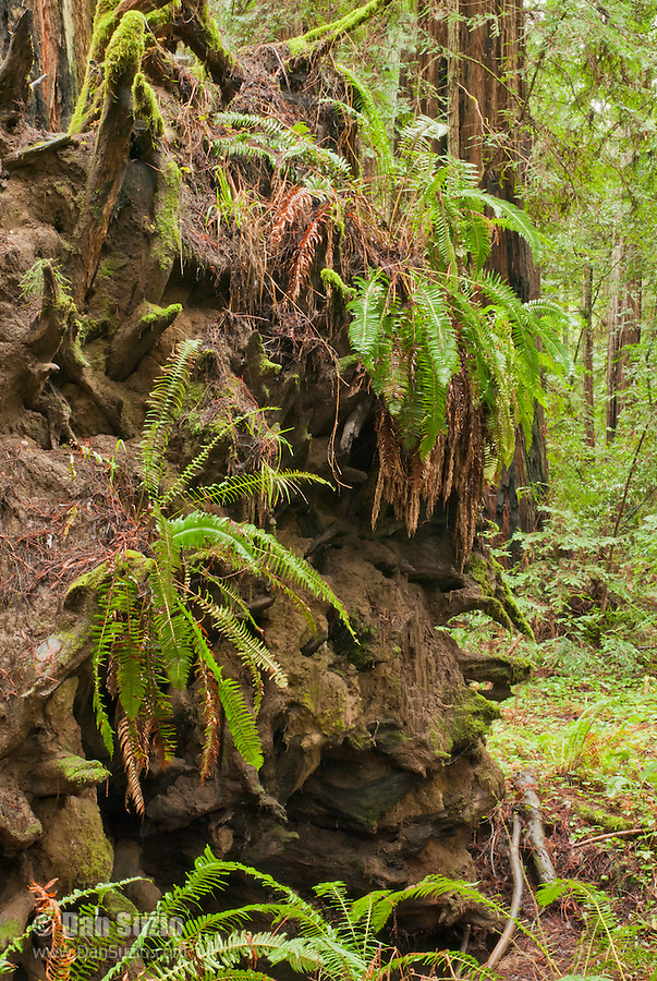 Sword fern, Polystichum munitum, grows on the roots of a fallen coast redwood, Sequoia sempervirens, in Big Hendy Grove, Hendy Woods State Park, California