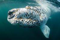 southern right whale, Eubalaena australis, white calf, rare leucistic whale, Nuevo Gulf, Valdes Peninsula, Argentina, South Atlantic Ocean