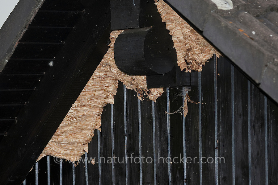 Hornisse, Hornissen-Nest, Hornissennest, Nest im Giebel eines Hauses, Vespa crabro, hornet, brown hornet, European hornet