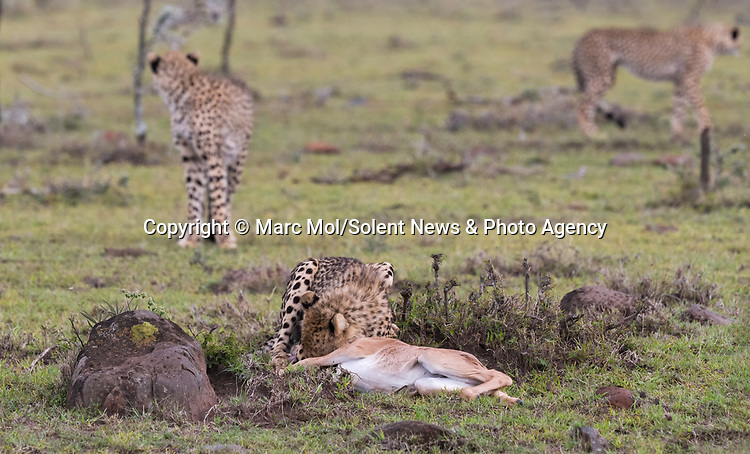 Pictured:  Sequence 1 of 11:  A cheetah having grabbed the calf, before mum is able to chase them away.<br /> <br /> An antelope accidentally crashes into its young calf as flee from five cheetahs.  The female topi had been grazing peacefully with the youngster before the predators attacked.<br /> <br /> Fortunately the pair were eventually able to escape by sprinting away from the hungry cheetahs.  The dramatic images were captured in the Naobosho Conservancy, on the Mara Reserve in Kenya by photographer Marc Mol.  SEE OUR COPY FOR DETAILS.<br /> <br /> Please byline: Marc Mol/Solent News<br /> <br /> © Marc Mol/Solent News & Photo Agency<br /> UK +44 (0) 2380 458800
