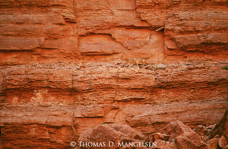Coyote blends into the canyon wall as it walks along a ledge.