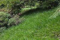 Liriope graminifolia - Lilyturf groundcover lawn substitute on slope under tree