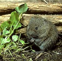 MU30-003z  Meadow Vole - several weeks old, eating leaves - Microtus pennsylvanicus