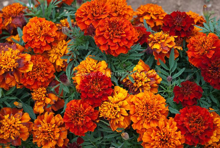 Tagetes patula Fireball, red orange marigolds, French Afro