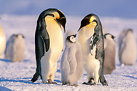 emperor penguins, Aptenodytes forsteri, parents with chick, Cape Washington, Antarctica