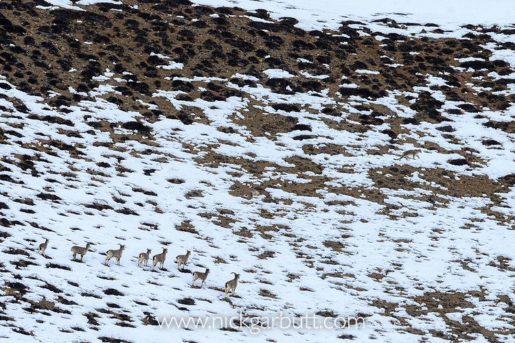 Elderly male snow leopard (Panthera uncia)(formerly Uncia uncia) watched by herd of blue sheep or bharal (Pseudois nayaur). Spiti Valley, Himachal Pradesh, northern India.