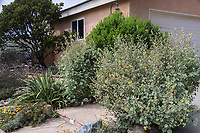 "The front yard of a San Juan Capistrano house seen during the 2018 ""California in my garden"" plant tour of the Orange County Chapter of the California Native Plant Society.  Highlighted are an Abutilon palmeri (indian mallow), Arctostaphylos refugioensis (refugio manzanita), and Baccharis pilularis (coyote bush)."