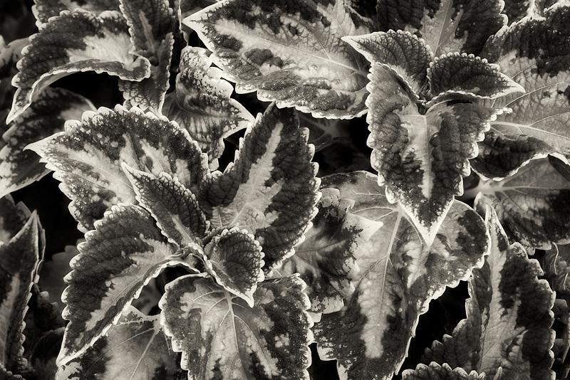 Close up of coleus leaves. Oregon