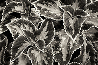 Close up of coleus leaves. Oregon