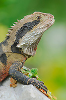 Eastern  Water Dragon (Physignathus lesueurii) , Australia