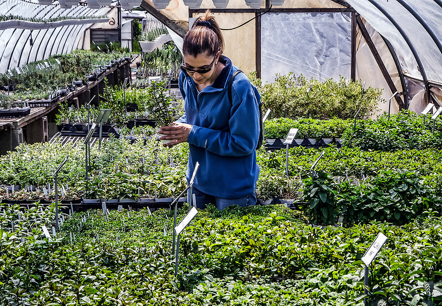 Woman selecting herbs in a greenhouse.