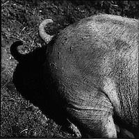 Europe/France/Auvergne/15/Cantal/Massif du Puy Mary :Cochon  au  Buron du Col de Rombière -Parc Naturel Régional des Volcans d'Auvergne