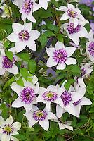 Clematis florida 'Sieboldiana' aka Clematis sieboldii