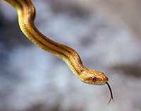 A Rat Snake in a Holly Hill, Florida backyard.  (Photo by Brian Cleary/www.bcpix.com)