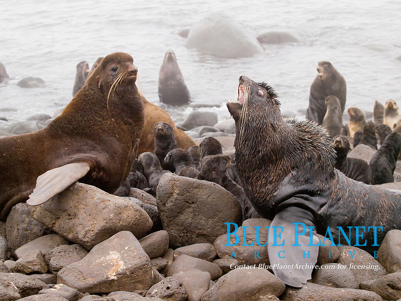 Northern fur seal, Callorhinus ursinus, bulls competing for breeding territory, summer, St Paul Island, Alaska