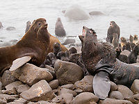 Northern fur seal, Callorhinus ursinus, bulls competing for breeding territory, summer, St Paul Island, Alaska
