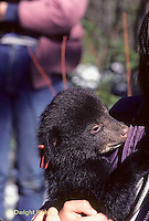 MA01-033z  Black Bear - cub removed from winter den and tagged by wildlife biologists - Ursus americanus