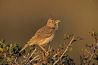 Crested Lark, Galerida cristata, adult singing, Samos, Greek Island, Greece, Europe