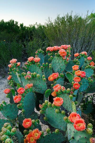Texas Prickly Pear Cactus (Opuntia lindheimeri), plant blooming, Laredo, Webb County, South Texas, USA
