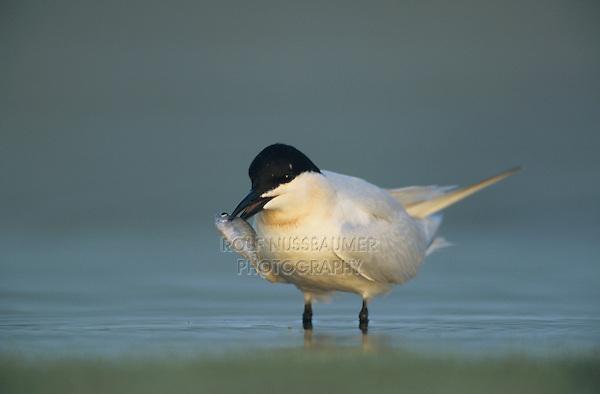 Gull-billed Tern, Sterna nilotica, adult with fish, Welder Wildlife Refuge, Sinton, Texas, USA