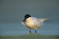 Gull-billed Tern, Sterna nilotica, adult with fish, Welder Wildlife Refuge, Sinton, Texas, USA