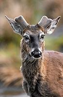 White-tailed deer. New antler growth covered in velvet..(Odocoileus virginianus)..Spring. Canada.