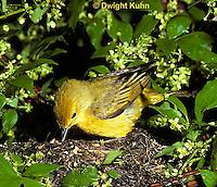 WB07-016z Yellow Warbler, Dendroica petechia aestiva [aestiva group]