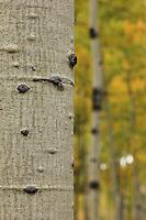 Aspen Trunk & Fall Color - Arizona - Flagstaff