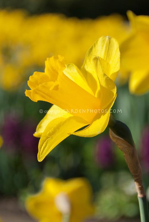 Daffodil Narcissus