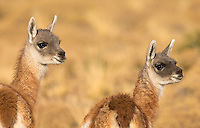 Guanacos are ubiquitous in and around Torres del Paine.  Here are a couple of cute juveniles.