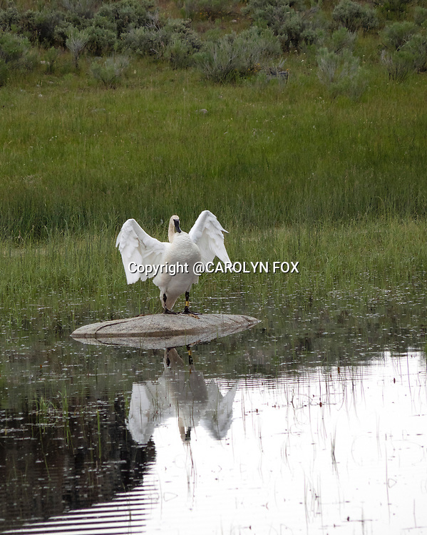 Trumpeter swans are sometimes seen in Yellowstone, but there aren't very many of them any longer.